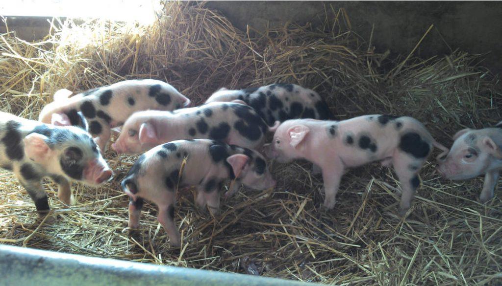 Antwort auf Thomas D.s Kommentar zur Schweine-Doku