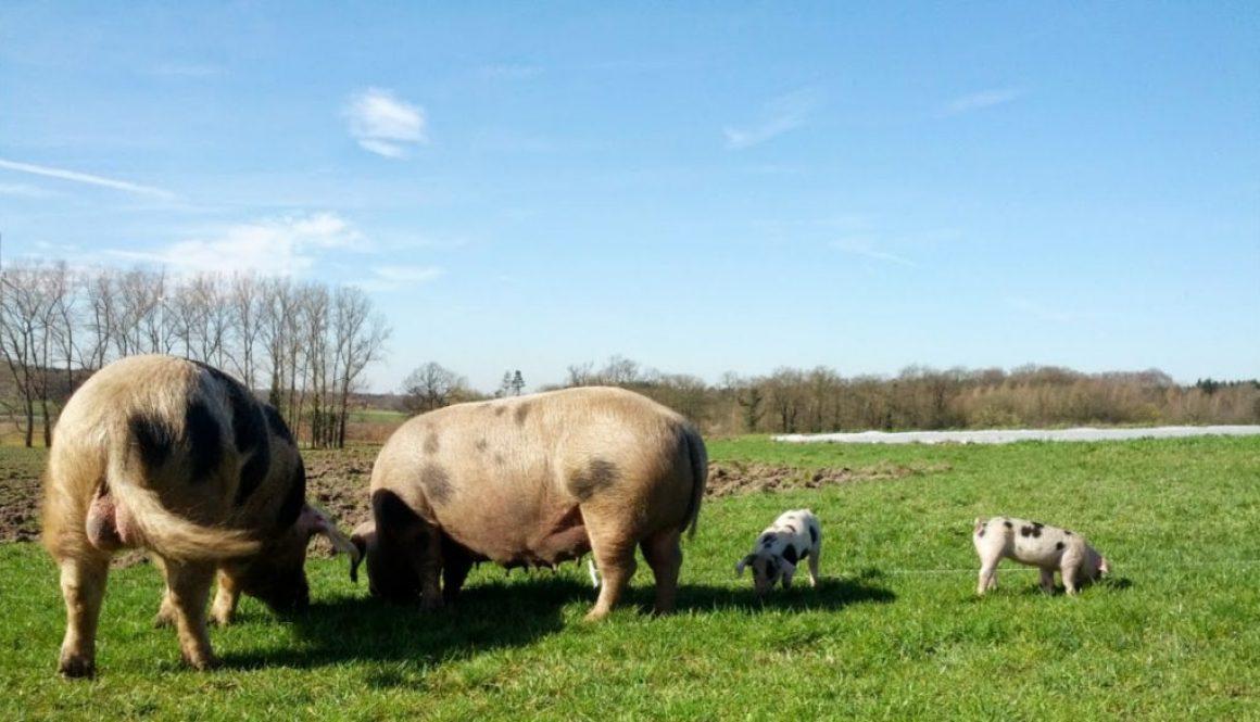 Freilandschweine: Chance oder große Gefahr?