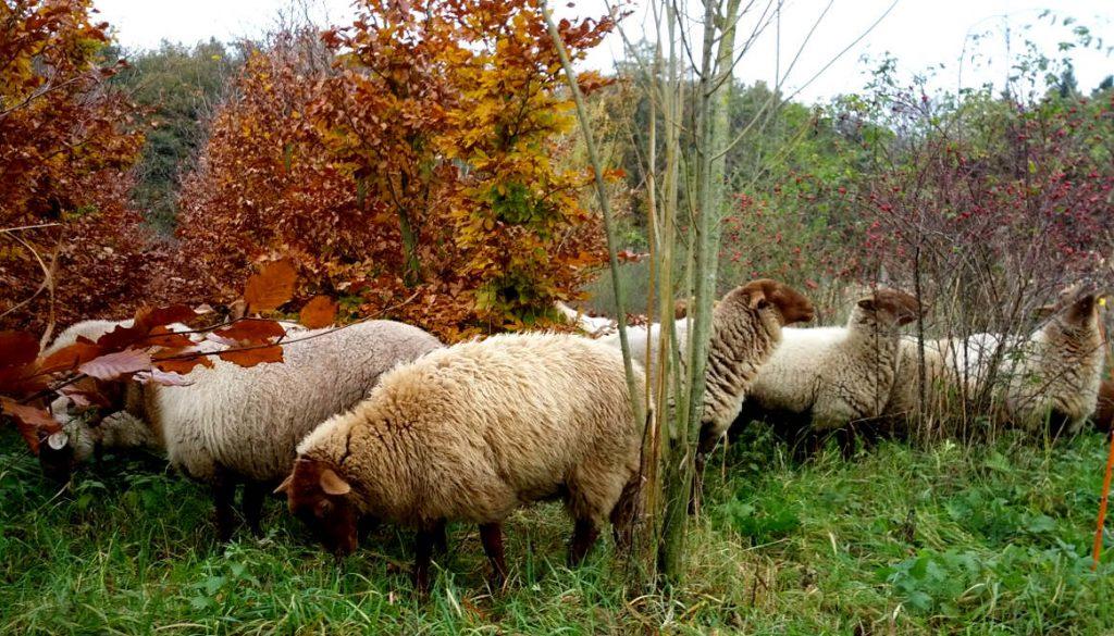 Bewahrenswert vielfältig: Alte Nutztierrassen